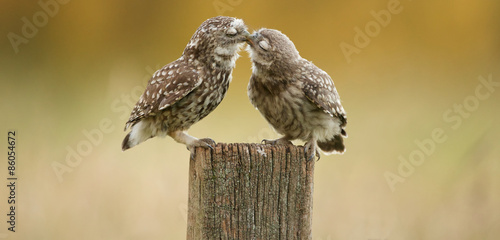 Little owl kissing