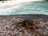 Fotoroleta Crabs