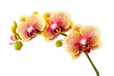 Fototapety Orchid flowers isolated on white background.