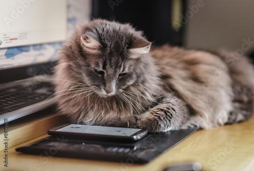 fototapeta na ścianę Puszysty kot oglądanie na ekranie smartfonu