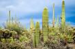 Vegetation at Saguaro National Park