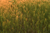 Fototapeta Background field spikelets