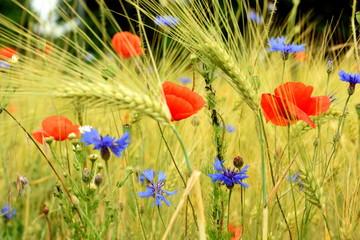 Feld mit Mohnblumen und Kornblumen