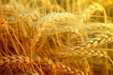 Fototapeta wheat closeup