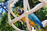 Blue and Gold Macaw in an aviary poster
