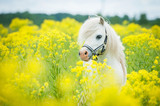 White shetland pony on the field with yellow flowers - Fine Art prints