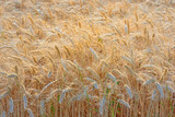 Fototapeta Golden Wheat field