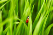 Ladybird on green grass