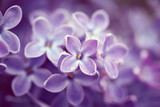 Fototapety Lilac flowers close up