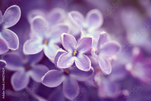 Fototapety, obrazy : Lilac flowers close up
