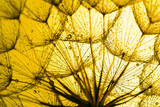 Fototapety close up of dandelion on the golden background