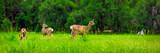 Deers on the green meadow.