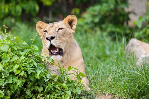 Papiers peints Hyène The portrait of White lion in Thailand zoo