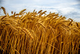 Fototapeta Beautiful golden wheat