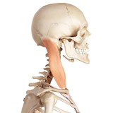 medical accurate illustration of the sternocleidomastoid poster