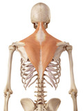 medical accurate illustration of the trapezius poster