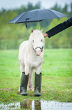 Little shetland pony wearing wellies and standing under umbrella in a rainy day - 86462413
