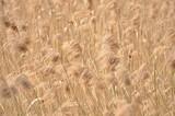 Fototapeta reeds