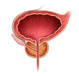 Prostate Organ