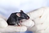 Mouse, Laboratory, Animal.