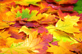 Fototapety autumn colorful leaves background