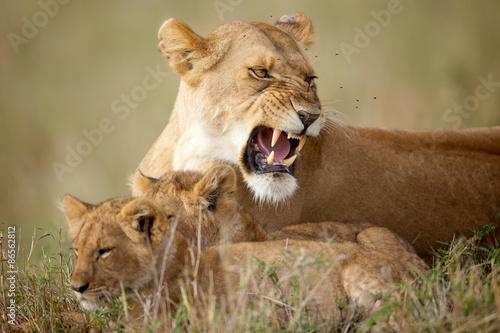 Zdjęcia na płótnie, fototapety na wymiar, obrazy na ścianę : Lioness protecting her cubs