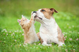 American staffordshire terrier dog playing with little kitten