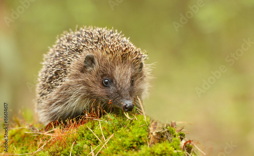 Zdjęcia na płótnie, fototapety na wymiar, obrazy na ścianę : Young hedgehog in natural habitat