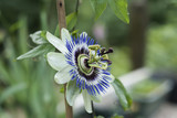 blue passiflora caerulea flower blooming