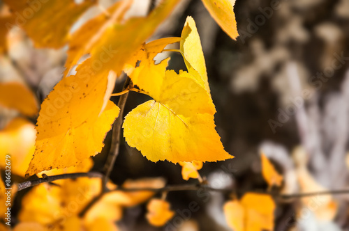Yellow birch leaves in autumn forest