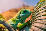Fotoroleta fiji banded iguana