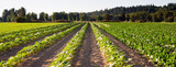 Planted Rows Herb Farm Agricultural Field Plant Crop