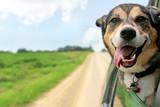 Fototapety German Shepherd Dog Sticking Head Out Driving Car Window