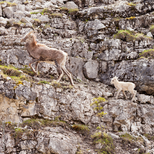 Foto op Plexiglas Cyprus Female Thinhorn Sheep Ovis dalli stonei leading lamb