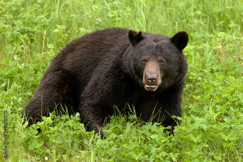 Poster Green meadow Black Bear Ursus americanus resting