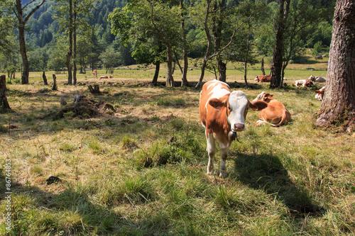 Poster mucche al pascolo in val di Mello