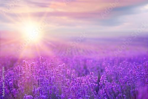Deurstickers Lichtroze Sunset over a lavender field.