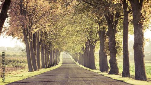 fototapeta na ścianę Droga biegnie przez drzewa alei.