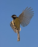 The flight of Great Tit (Parus major)