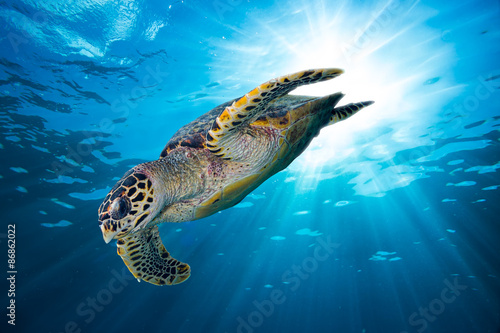 Poster hawksbill sea turtle dives down into the deep blue ocean