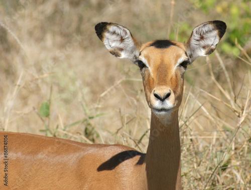 Fototapeta Impala portrait