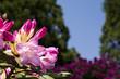Obrazy na płótnie, fototapety, zdjęcia, fotoobrazy drukowane : ピンクのシャクナゲの花のアップ