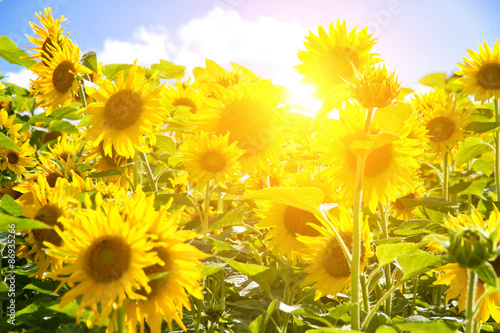 Aluminium Geel Sun in sunflower field