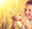 Little boy taking wheat ears on the field. Kid with rye in his hands
