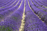 Fototapety fields of blooming lavender flowers (Provence, France)