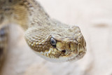 Serpiente de Cascabel Mexicana. Crotalus basiliscus.  poster