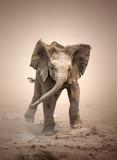 Elephant Calf mock charging