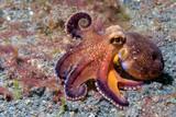 coconut octopus underwater macro portrait on sand - 87066417