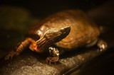 Midland Painted Turtle Basking on a Log poster