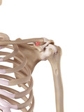 medical accurate illustration of the trapezoid ligament poster